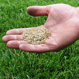 Semințe de gazon