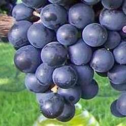 muscat bleu butasi vita de vie agrodor